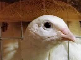 Инкубационное яйцо техасского перепела альбиноса и Золотистого феникса