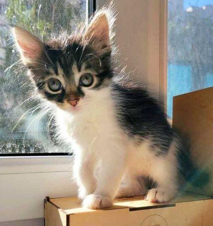 Пушистый и ласковый серый с белым котенок, девочка, 1,5 месяца
