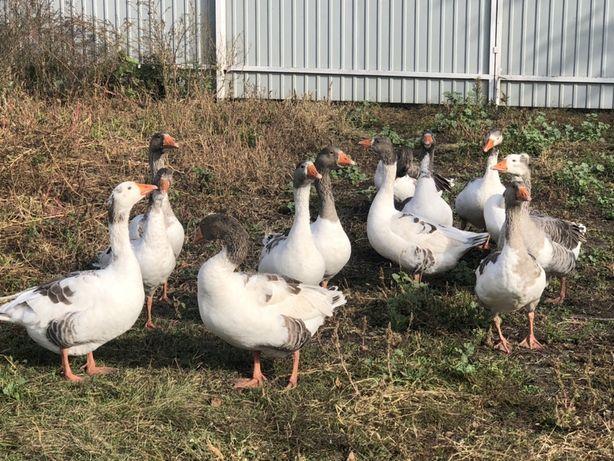 Прода гусей