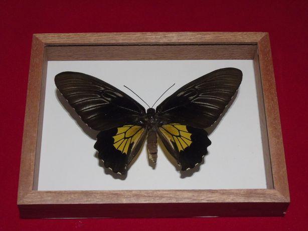 Motyl w gablotce18x14cm.Ornithoptera Troides 140mm