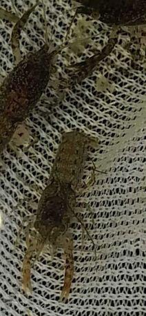 Rak Akwariowy Cambarellus texanus Mini Raczek słodkowodny 1/1,5cm