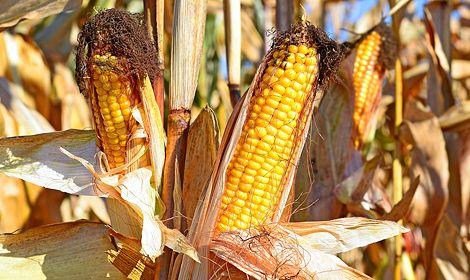 Насіння кукурудзи гібрид, семена кукурузы гибрид Гран - 6 ФАО 300