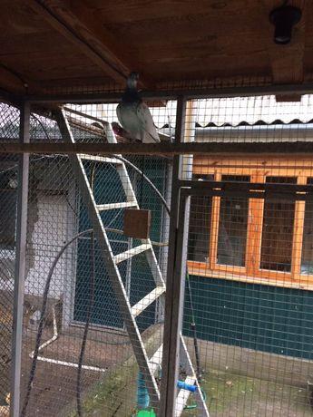 Продом будапешских голубей