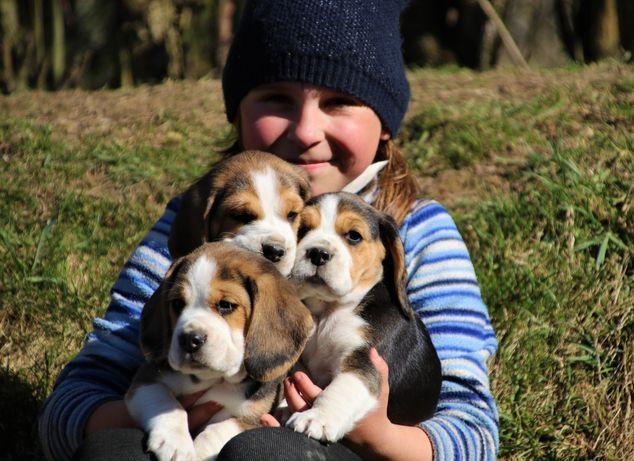 Beagle szczeniaki ZKWP(FCI)