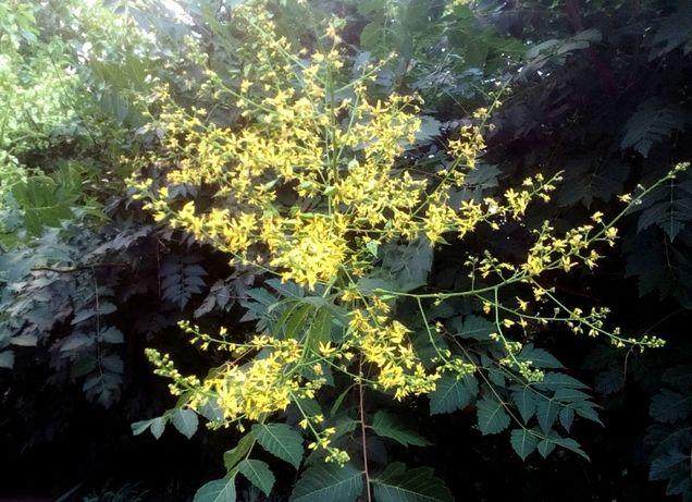 Кельрейтерия метельчатая дерево медонос