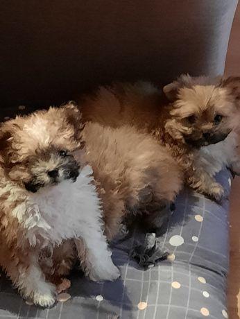 Девчонки щеночки померанского шпица