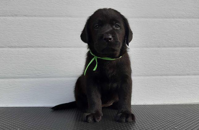 Labrador preto fêmea descendente de Campeões