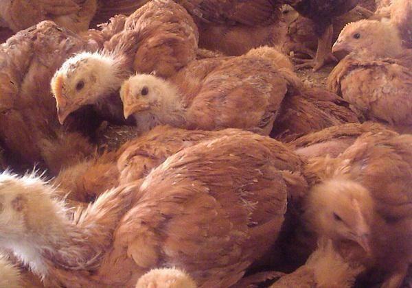 """Цыплята """"Редбро"""" суточные, Венгрия - мясо-яичное направление!"""