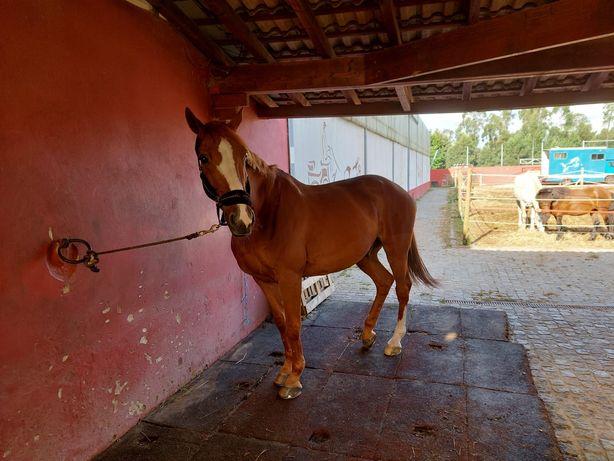 Cavalo sela Francês
