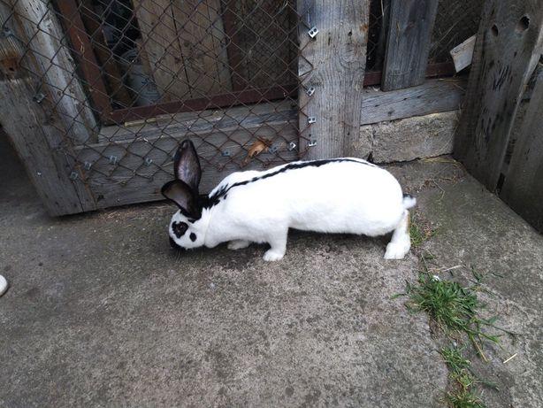 Króliki Tuszka królika