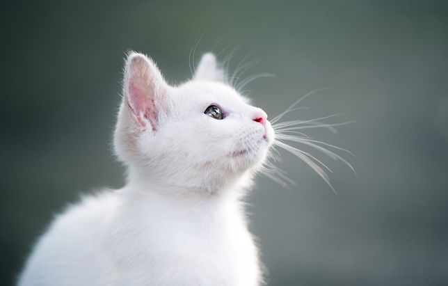 Білі котики Кошенята Коти