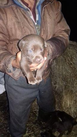 Продам щенков лабрадора черный и шоколадных окрасов