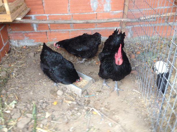 Ovos fecundados de varias raças de galinha