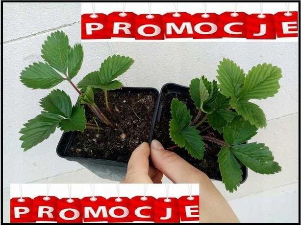Sadzonki truskawek 7 odmian doniczka p7 za 1szt  sztuka