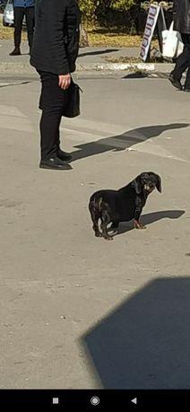Пропала замечена собака Бабурка