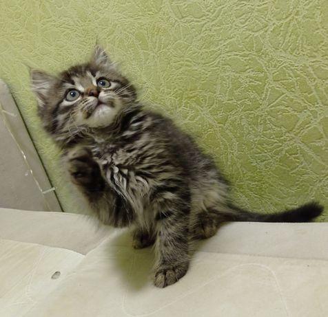 Котят от Мейн-куна