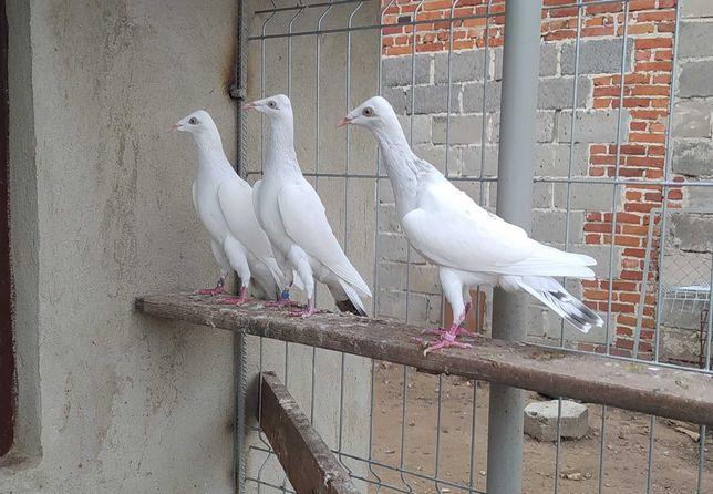 Gołębie srebrniaki perłowe