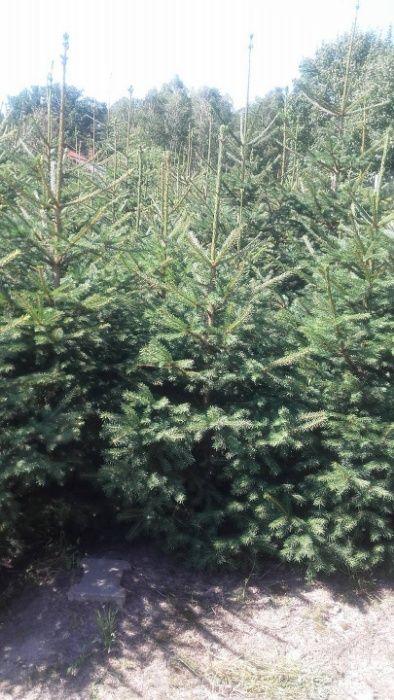 choinki świąteczne Odolion - image 1