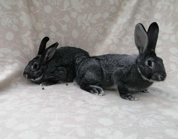 Parka królików rasy Szynszyl Wielki - samica i samiec