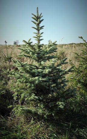 Plantacja drzewek choinkowych, świerk , świerk srebrny, jodła kaukaska
