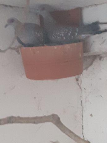 Gołębie gwinejskie