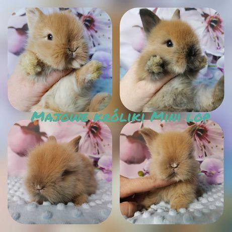 Królik króliczek karzełek teddy miniaturka hodowla zarejestrowana