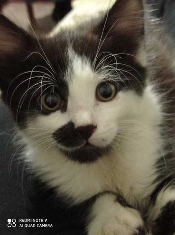 Котёнок черно белый, мальчик 3,5 мес., мать супермышеловка
