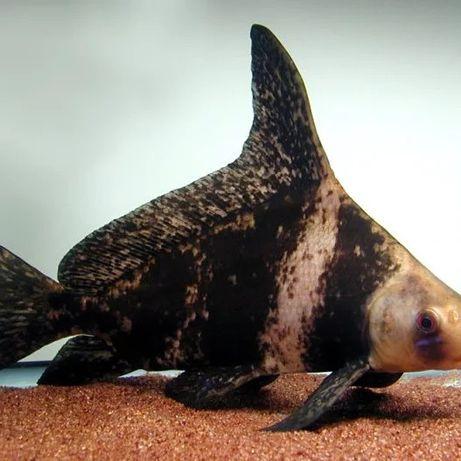 tubarão japones disponiveis 11 centimetros