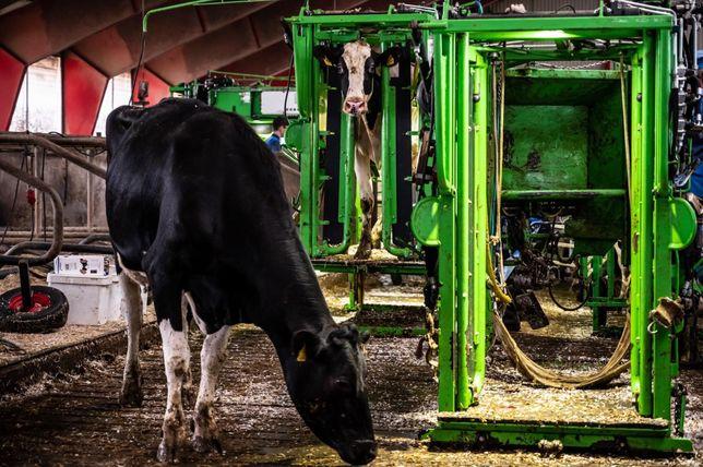 Korekcja racic i leczenie kulawizn bydła, strzyżenie ogonów GRATIS !