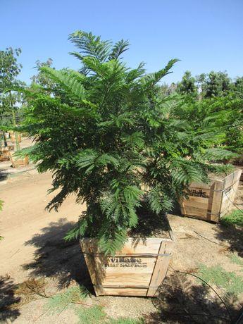 Plantas Árvore Jardim Ornamental Jacaranda Mimosifolia Mimoso Sementes