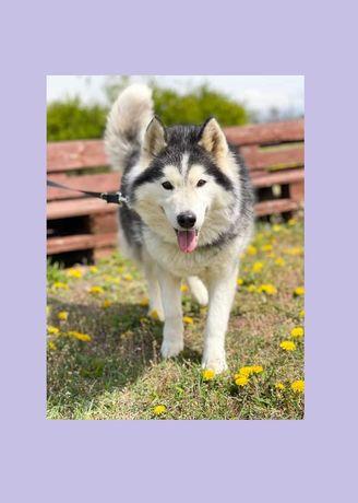 Tundra - w typie Husky; nie ma problemów w kontaktach z psami
