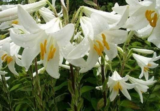 Продам белые лилий