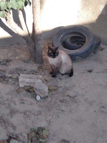 Пропал взрослый сиамский кот