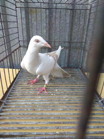 Gołębie ozdobne perłowa pasiata masłowa wylotka