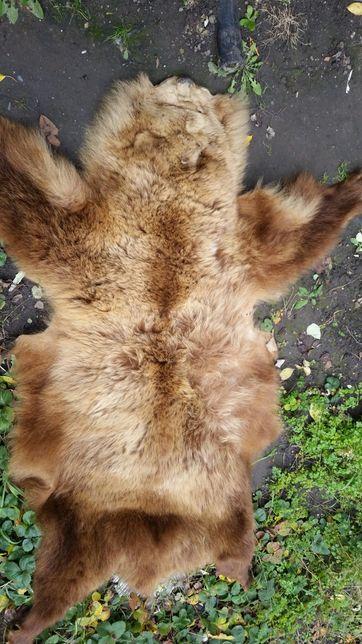 Шкура бурого медведя 170×90