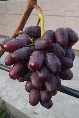 Саженцы винограда : Зоренька, Карнавал,Аватар