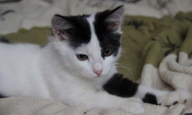 Котенок мальчик 2.5 месяца ( котёнок , отдам , чёрно-белый )