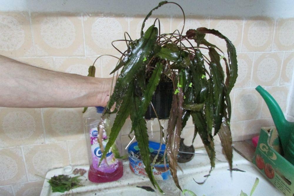 Rośliny akwariowe Ostrowiec Świętokrzyski - image 1