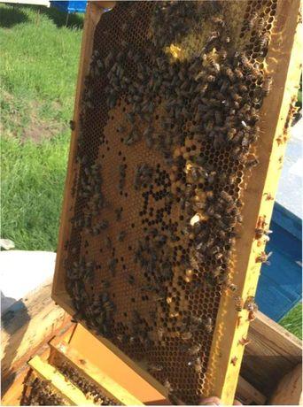 Сильные пчелы! Бджолопакет Степова Українська Привезу в Тульчин !