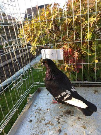 Gołębie rysie czarne na białych lotach