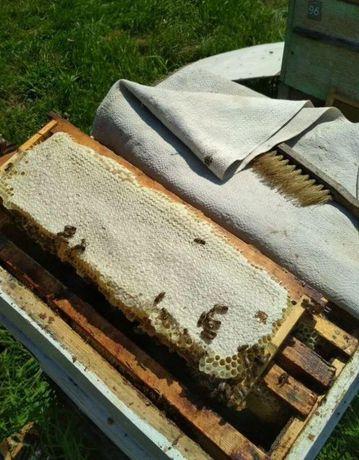 Матка пчелиная. Карпатка. Карпатська бджола Плодная