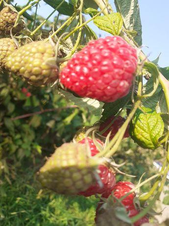 Malina owoc slodkie
