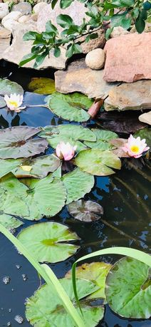 Lilie wodne lilia wodna różowe białe zamiana na black princess 3 za 1