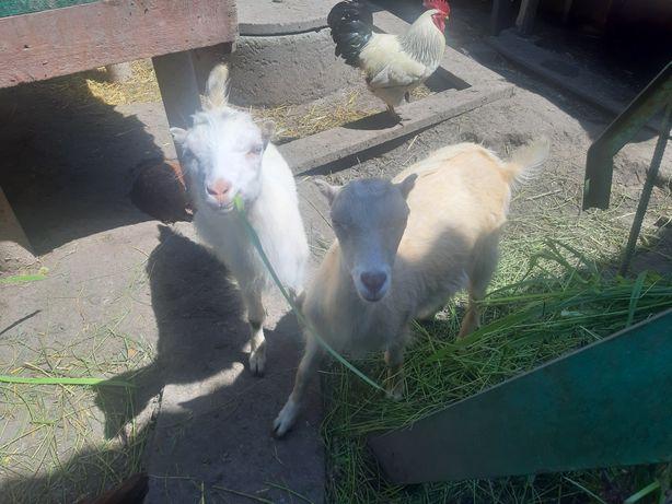 Коза, ламанч, 3 месяца
