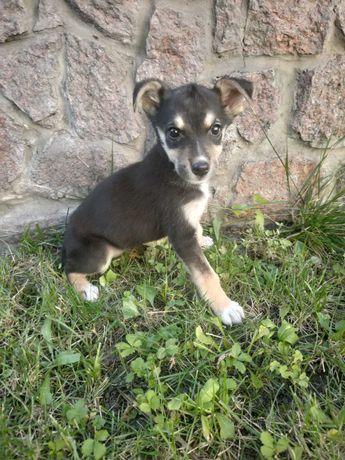 Возьмите щенка из приюта,  девочка Мальти, 3 месяца, средний размер.