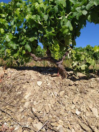 Uvas do alto Douro vinhateiro.
