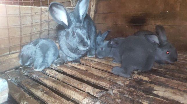 Кролики породы хиплус. Мясо. Доставка.