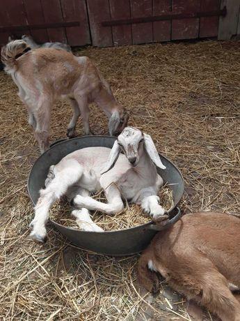 Англо-нубійська коза 93,75%₴
