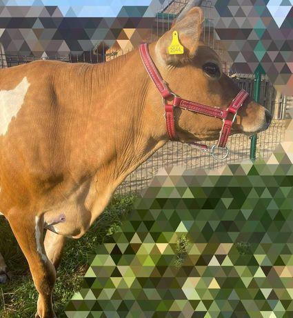Намордник корове быку Абердин-ангусская порода голштинской