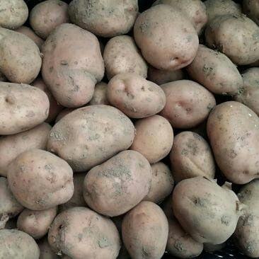 Ziemniaki paszowe wielkość sadzeniaka/na pasze